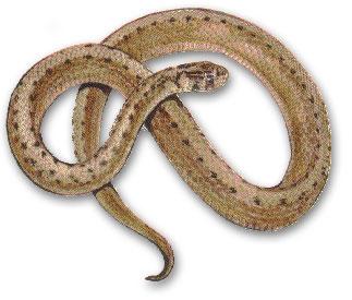Snakes Of Massachusetts